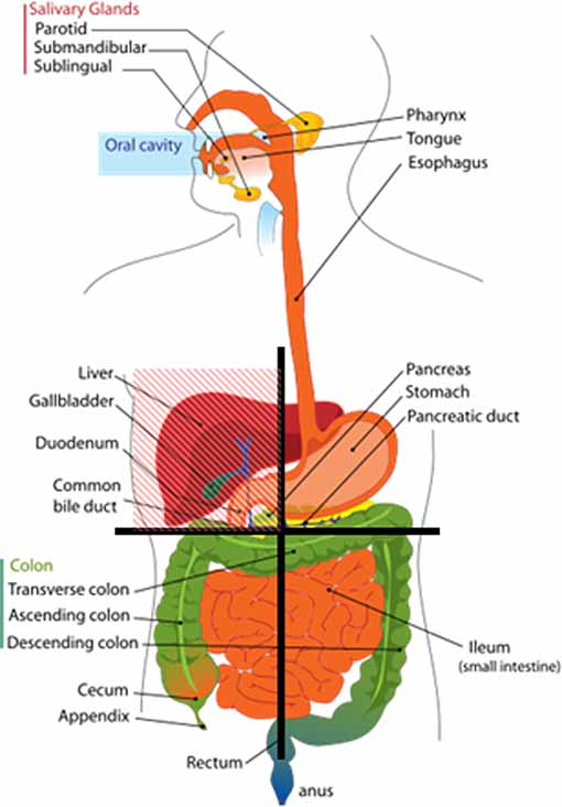 digestive diagram colon